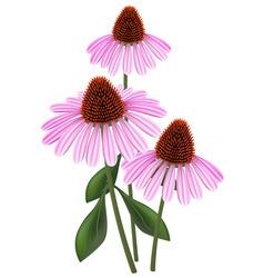 Echinacea vector