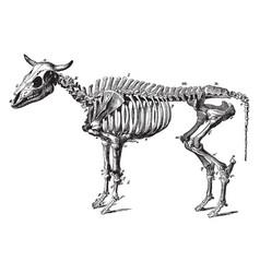 Ox skeleton vintage vector