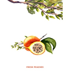 Peaches watercolor vector