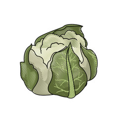drawing cauliflower vegetable nutrition food vector image