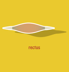 Sticker rectus - didactic board of anatomy of vector