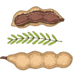 Ripe tamarind in cross section and whole vector