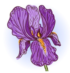 purple iris vector image