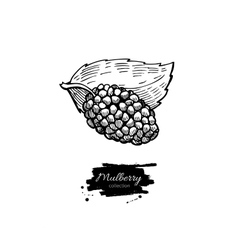 Mulberry superfood drawing isolated hand vector