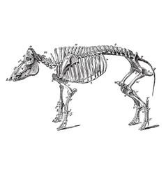 Skeleton of a hog vintage vector