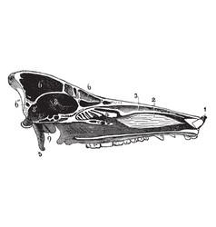 Skull of a hog vintage vector
