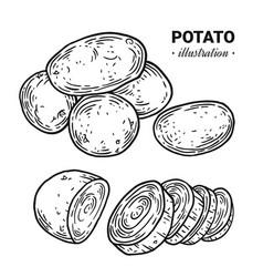 Potato fresh food hand drawn vector