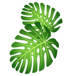 leaves of tropical plant monster vector image