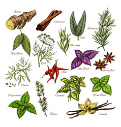 spices and herbs sketch icons of seasonings vector image