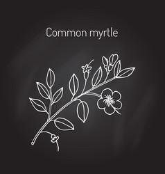 Myrtle or myrtus communis vector