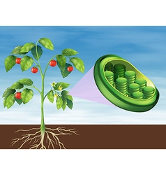 Chloroplast in plant vector