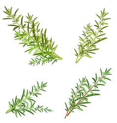 Bunch fresh rosemary herb isolated set vector