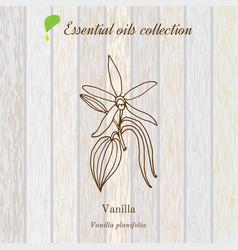 Vanilla essential oil label aromatic plant vector