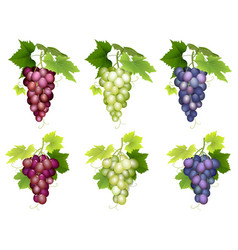 Bunch of grapes different varieties vector