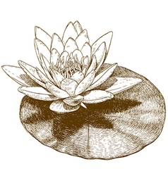 Engraving water lily vector