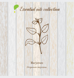 Marjoram essential oil label aromatic plant vector