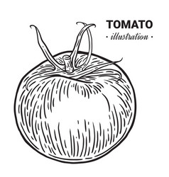 tomato fresh food hand drawn vector image