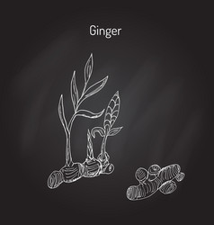 hand drawn ginger plant vector image