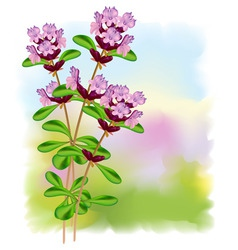thyme flowers vector image
