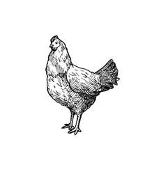 hen vector image