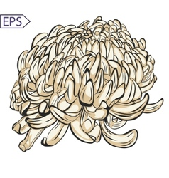 Single chrysanthemum flower color blossoms vector image vector image