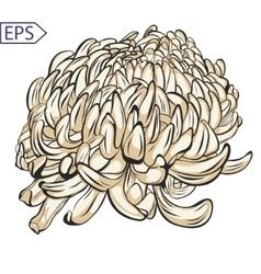 Single chrysanthemum flower color blossoms vector image