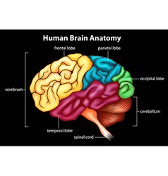 The human brain vector