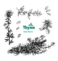Thyme leaves flowers and bunch hand drawn vector