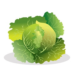 Cabbage vector