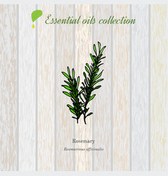 Rosemary essential oil label aromatic plant vector