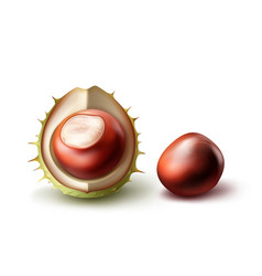 Two horse chestnuts vector