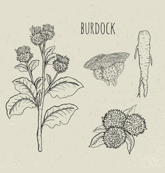 Burdock medical botanical isolated plant vector
