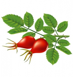 wild rose hips vector illustration vector image