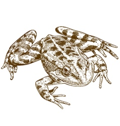 engraving frog vector image vector image