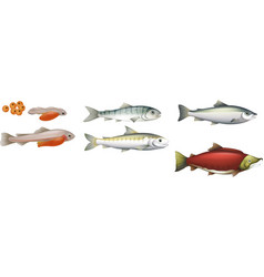 Life Cycle of Salmons vector image vector image