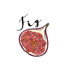 The cut fruit of fig on a white background with vector