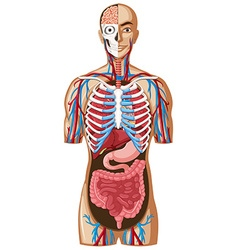 Human anatomy with different systems vector