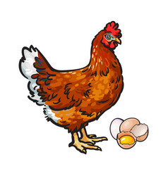 hen chicken and eggs - whole and broken in half vector image