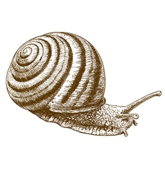 engraving striped snail vector image