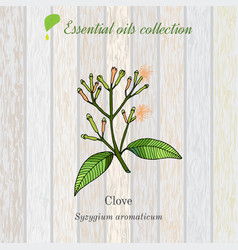 Clove essential oil label aromatic plant vector