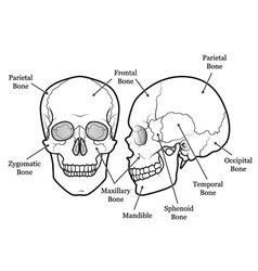 Skull chart vector