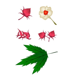 Parts of hibiscus sabdariffa or roselle plant vector