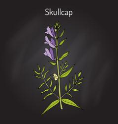Baikal skullcap scutellaria baicalensis - vector