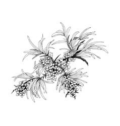 Buckthorn berries vector image