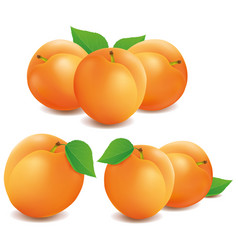 Fresh apricot fruits isolated on white background vector