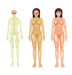 Nervous system of a woman vector image vector image
