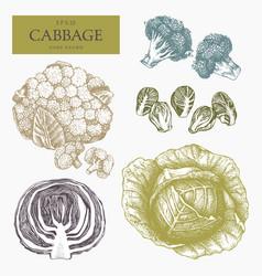 vintage cabbage vector image vector image