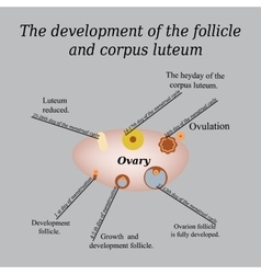 It shows the development of ovarian follicle and vector