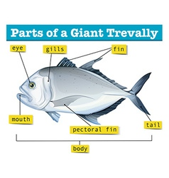 Diagram showing parts of giant trevally vector