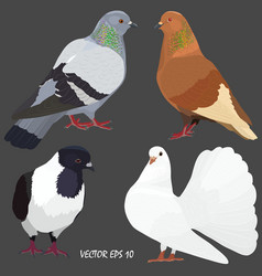 four realistic domestic pigeons of different breed vector image